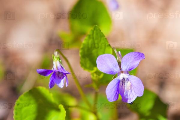 Нежные цветы фиалки