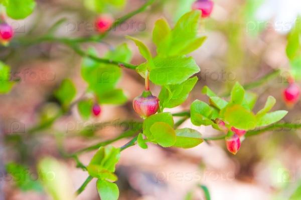 Цветущие кусты черники
