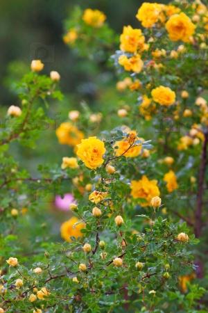 Пышный куст желтых роз