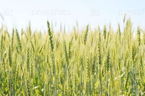 Солнечный день и пшеничное поле