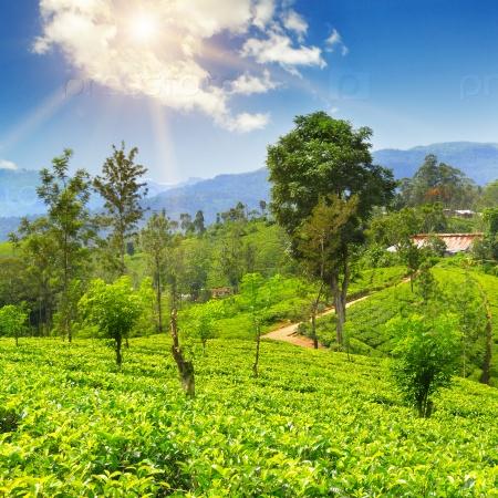 Чайные плантации на живописных холмах