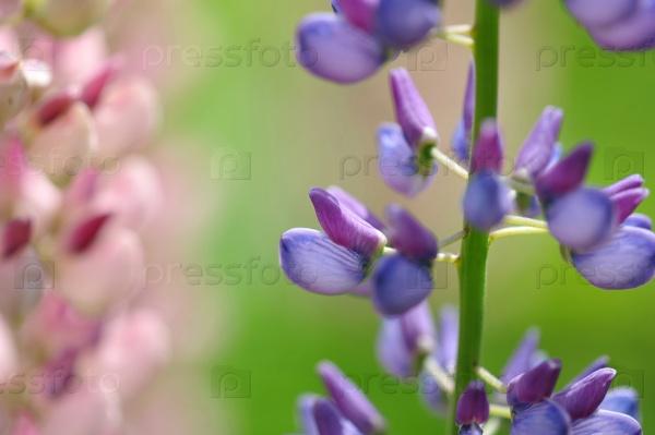 Люпин цветок