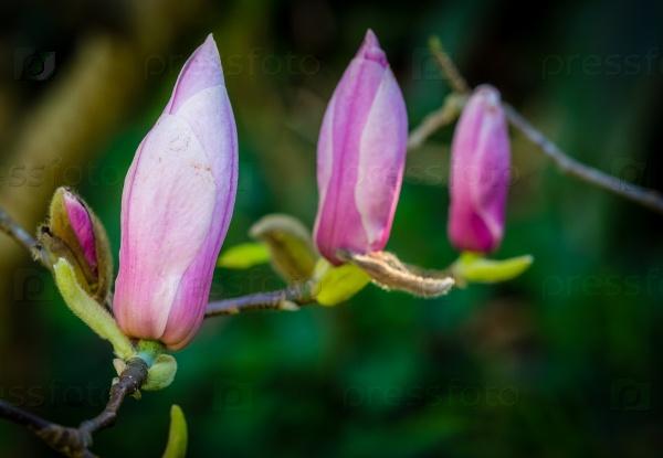 Магнолия цветы