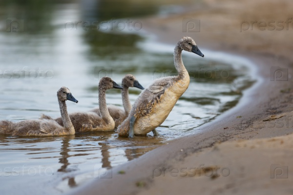 Семейство лебедей на берегу
