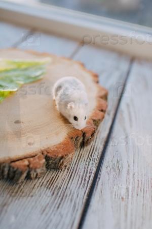 Белый хомяк