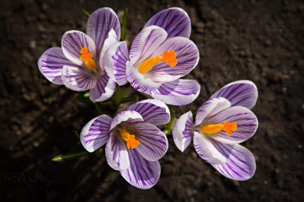 Цветы крокуса на солнце