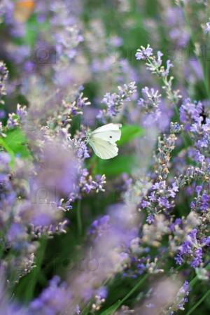 Бабочка в лаванде