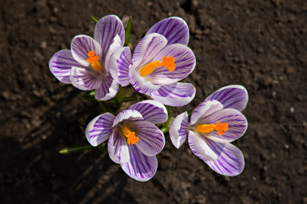 Цветок крокуса
