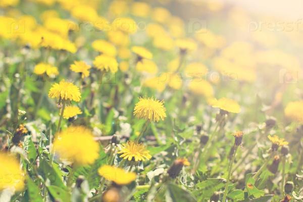 Красивые цветы желтого одуванчика на поле
