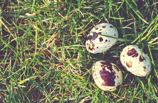 Перепелиные яйца на зеленой траве