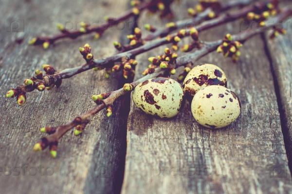 Перепелиные яйца с зелеными ветками с почками