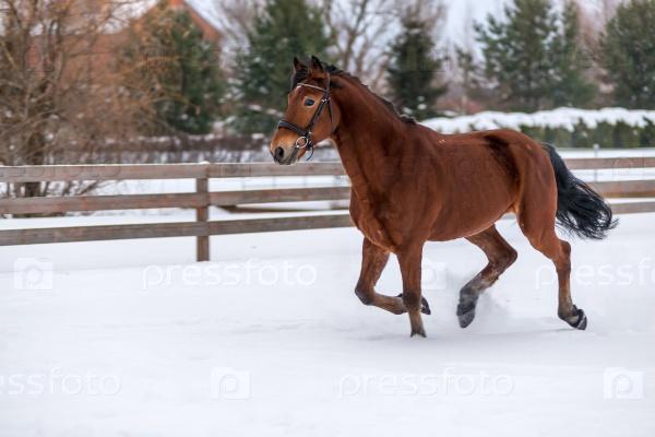Красивая молодая коричневая лошадь бежит в снегу