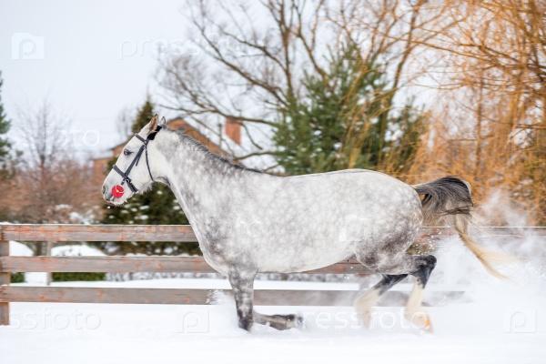 Серый породистый конь бежит на ранчо в снегу