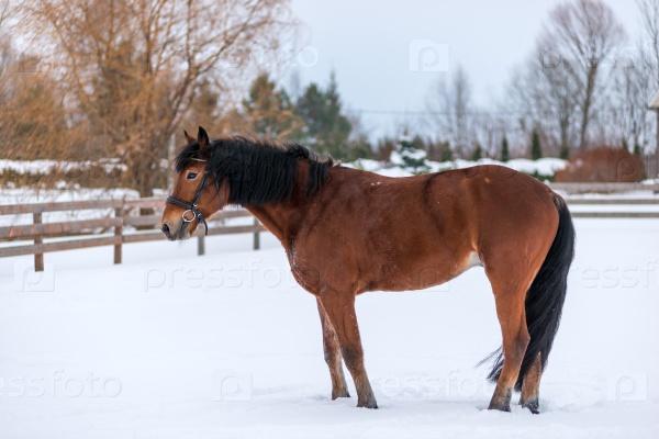 Зимний портрет коричневой породистой лошади