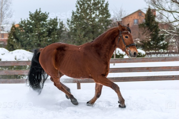 Бег молодой лошади на снегу зимой
