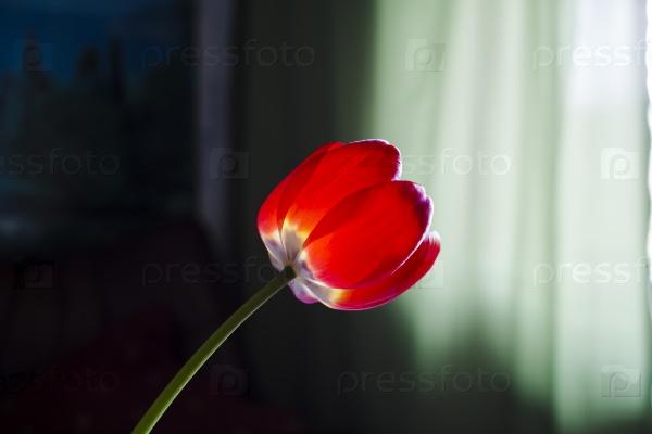 Красный тюльпан в вазе