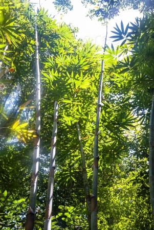 Солнечный свет в бамбуковом лесу
