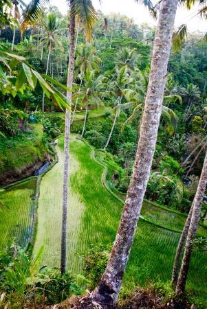 Рисовые поля террасы в Бали, Индонезия