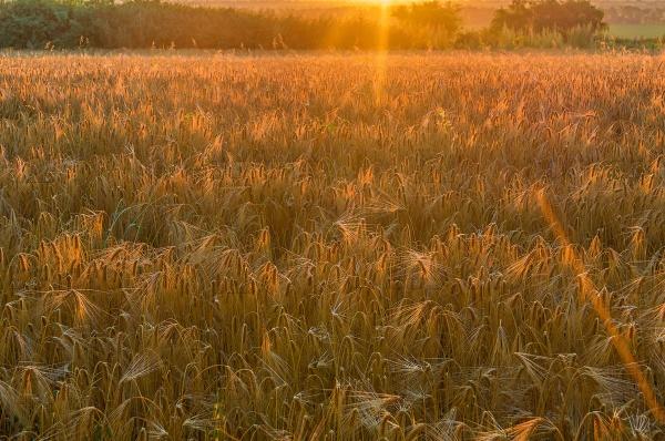 Хлебное поле под утренними лучами