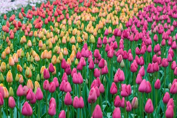 Тюльпаны в саду