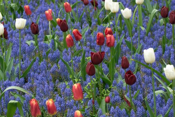 Тюльпаны и мускари в саду
