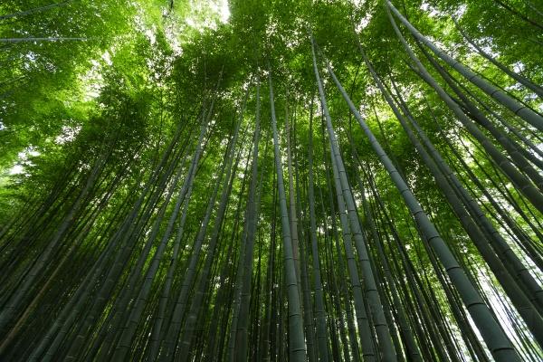 Бамбуковый лес в Арасияма