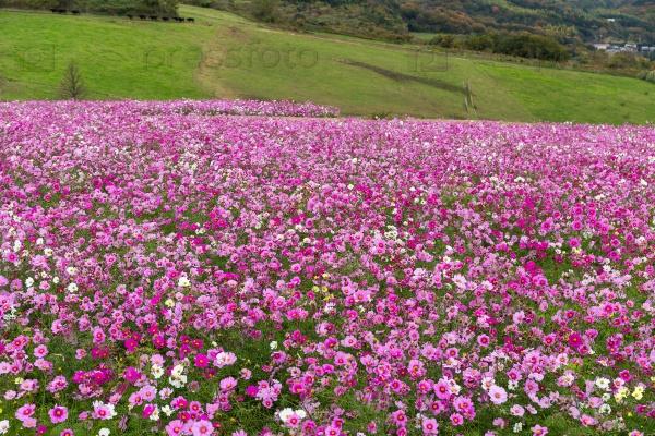 Космеи цветы