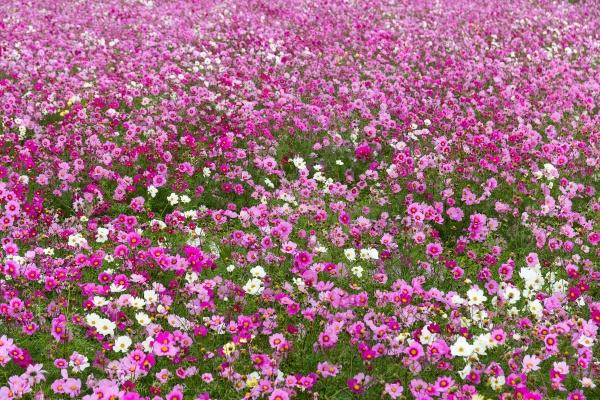 Космеи полевые цветы