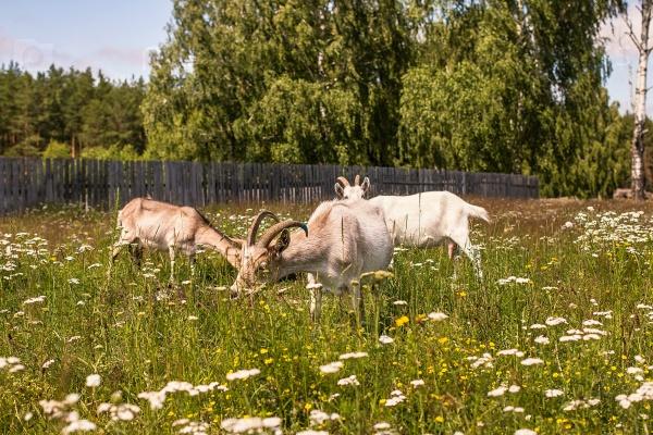 Козы на зеленой траве