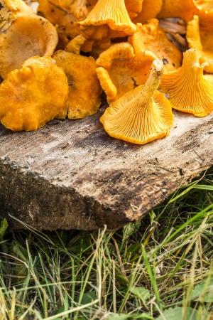 Грибы лисички на деревянном фоне