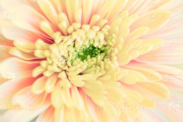 Цветок хризантемы, макро