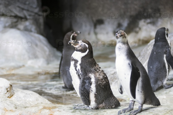 a biography of the penguin sphenisciformes a fascination to numerous people including scientists and