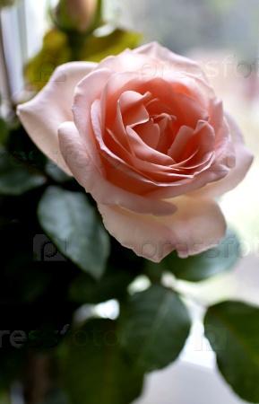 Нежно-розовая роза
