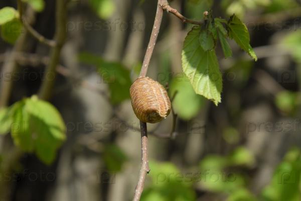 Оотека богомола на ветвях дерева