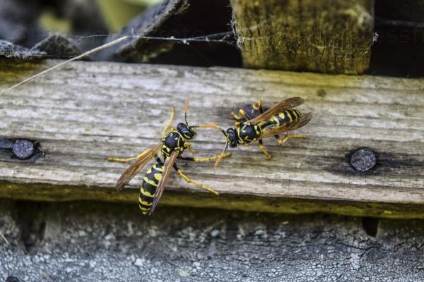 Две осы