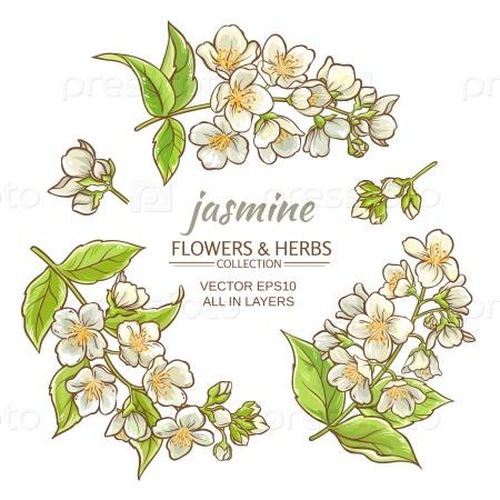 Жасмин цветы на белом фоне