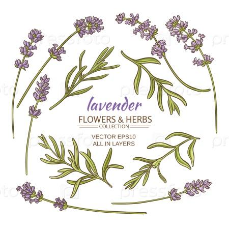 Цветки лаванды и листья набор на белом фоне