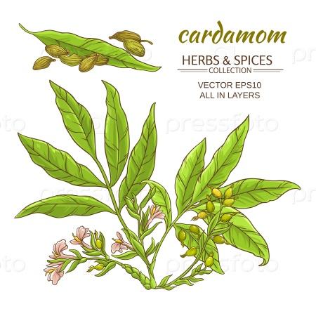 Кардамон растение набор на белом фоне