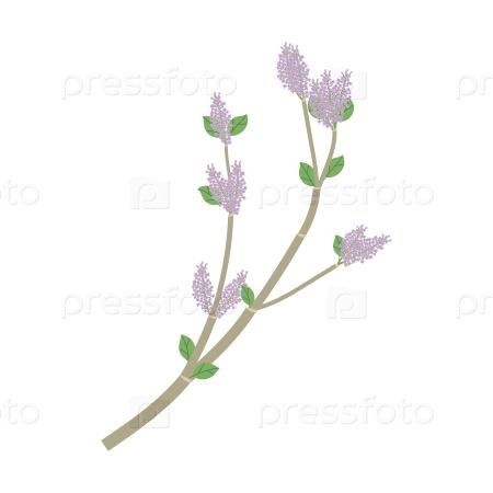 Ветка с зелеными листьями и фиолетовыми цветами сирени