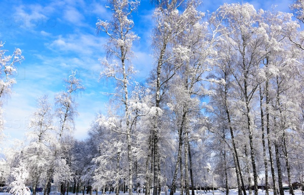В зимних лесах