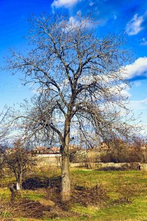 Старый дуб в начале весны в солнечный день