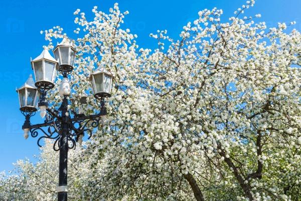 Яблоня с белыми цветами весной в солнечный день