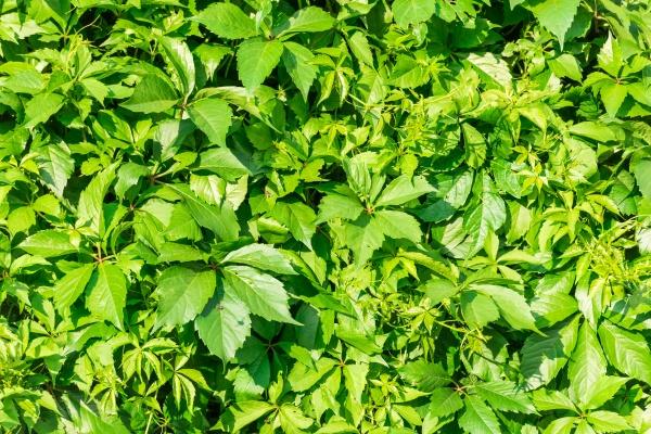 Дикий виноград зеленый фон