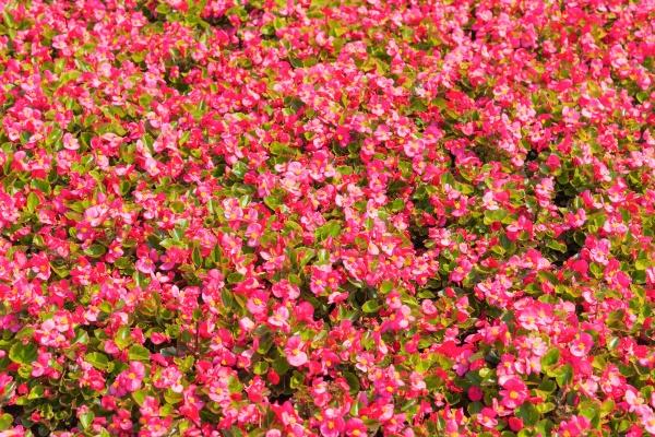 Яркие цветы бегонии фон