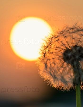 Одуванчик на солнце