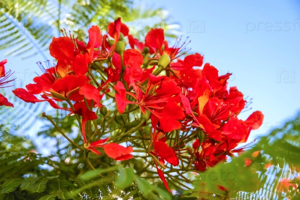 Бугенвилии цветы