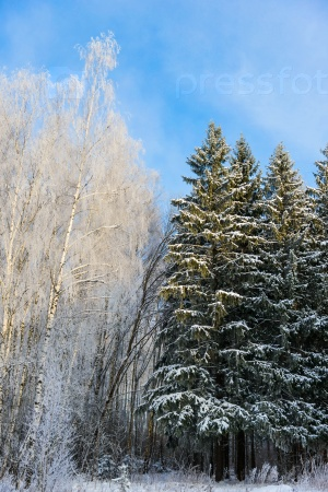 Лес в зимний период