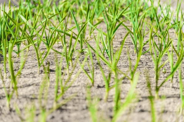 Ростки зеленого лука