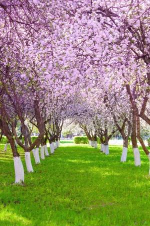 Яблоня с цветами весной в солнечный день