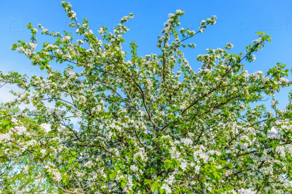 Цветение вишни